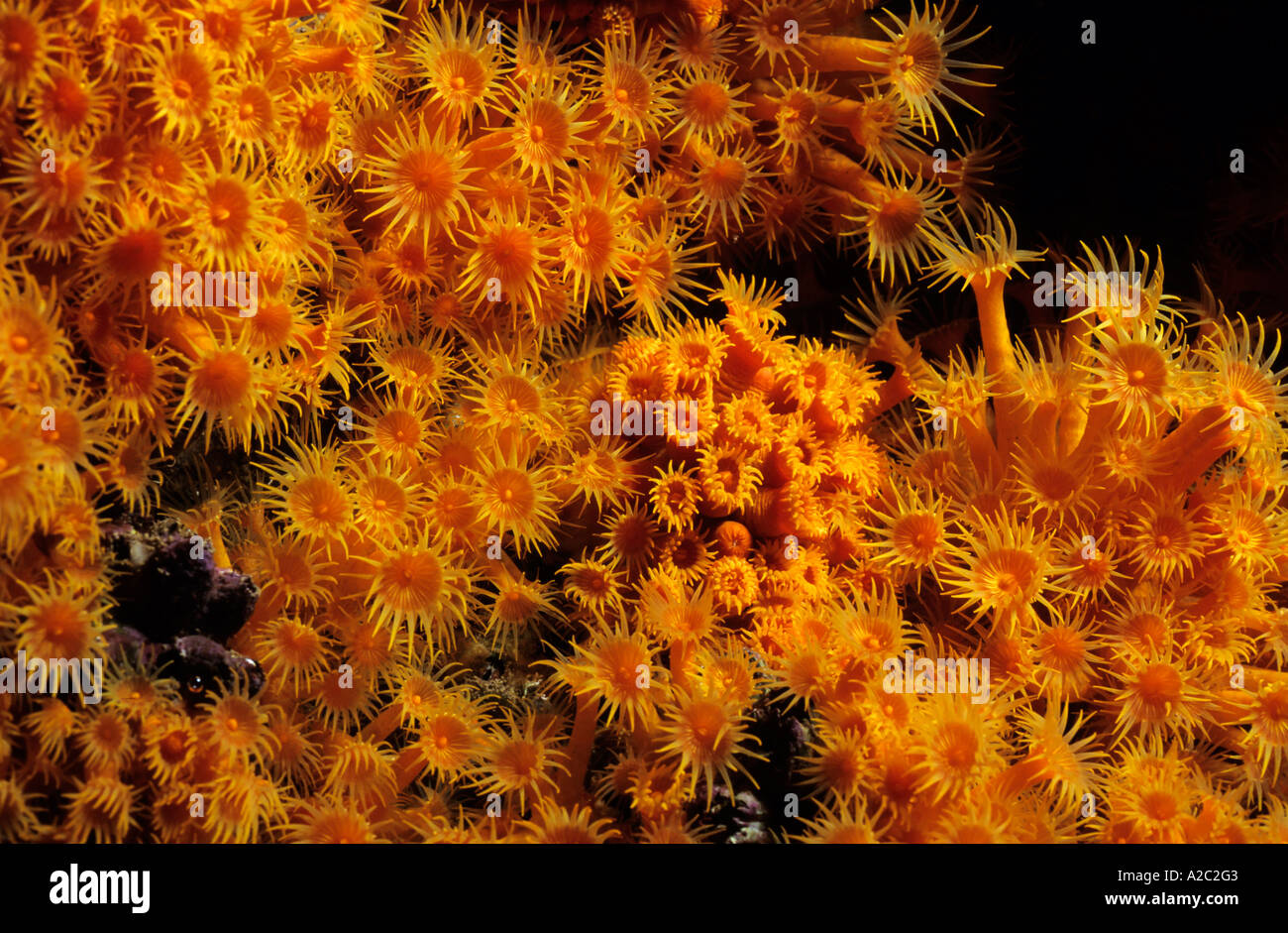 Sea Anemones - Brightly colored Yellow Encrusting Anemone (Parazoanthus axinellae). Stock Photo