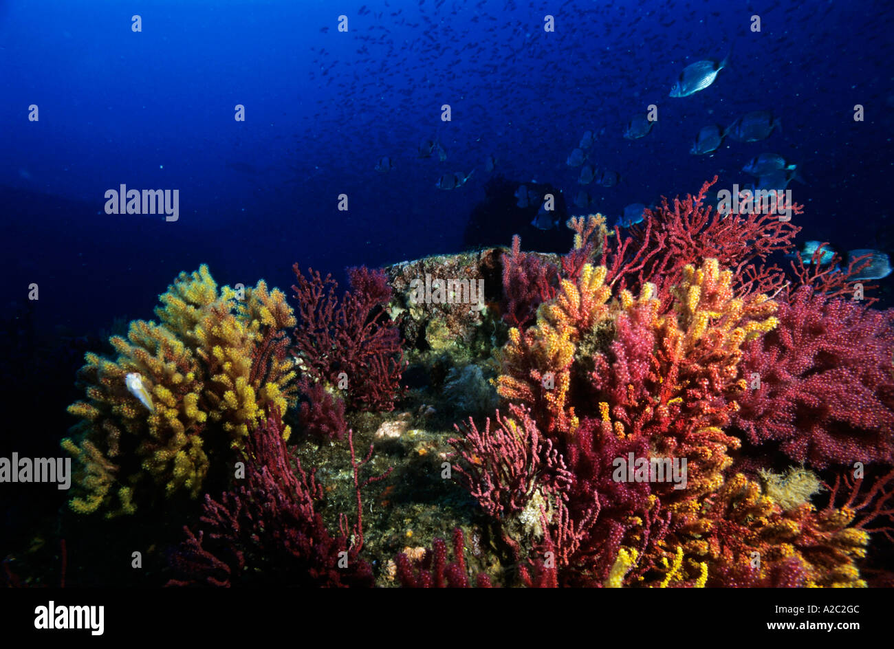 Multicolored gorgonians and sea fans growing on a coral reef with a school of fish swimming in the background. - Stock Image
