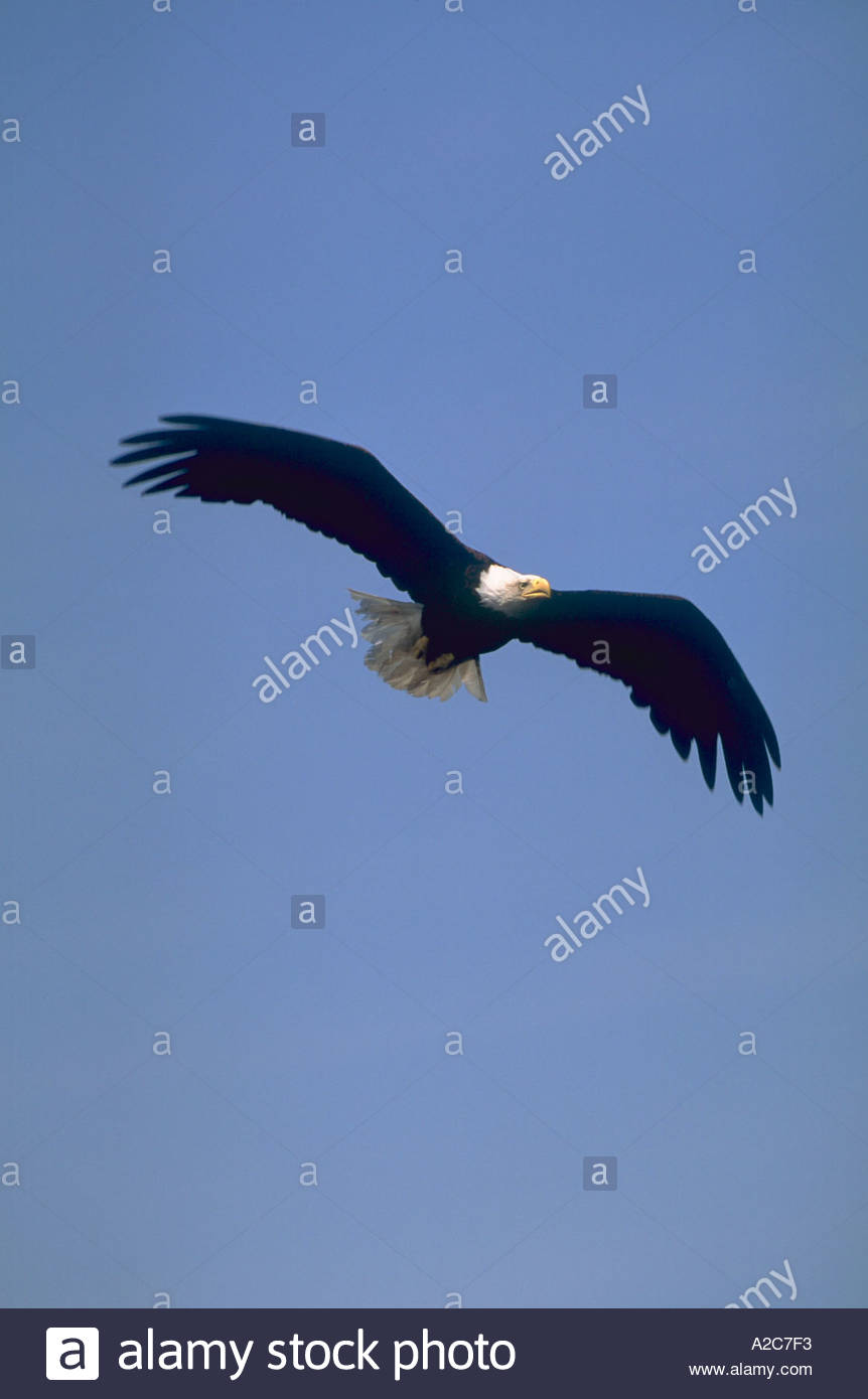 Front view of a bald eagle soaring through the blue sky with its wings totally expanded - Stock Image