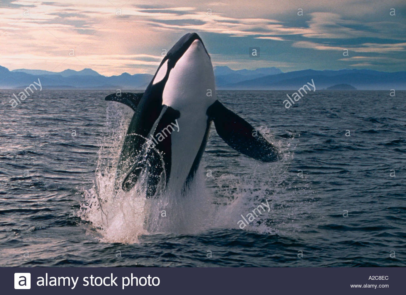 An Orca or Killer Whale orcinus orca creating a splash while breaching straight up out of the water - Stock Image