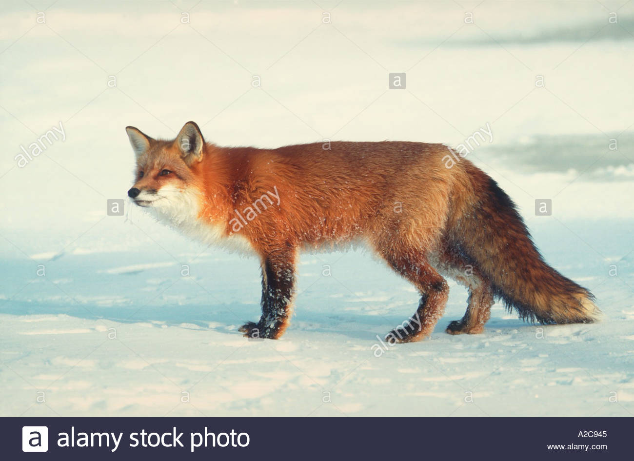 Side view of a red fox...