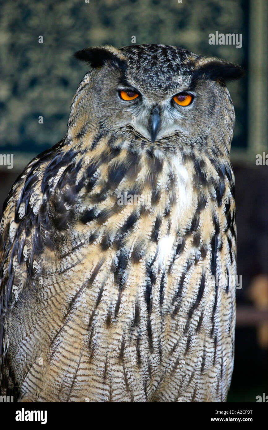 Eagle Owl at the Knights Tournament Falconry Display, Kirby Hall, Northamptonshire - Stock Image
