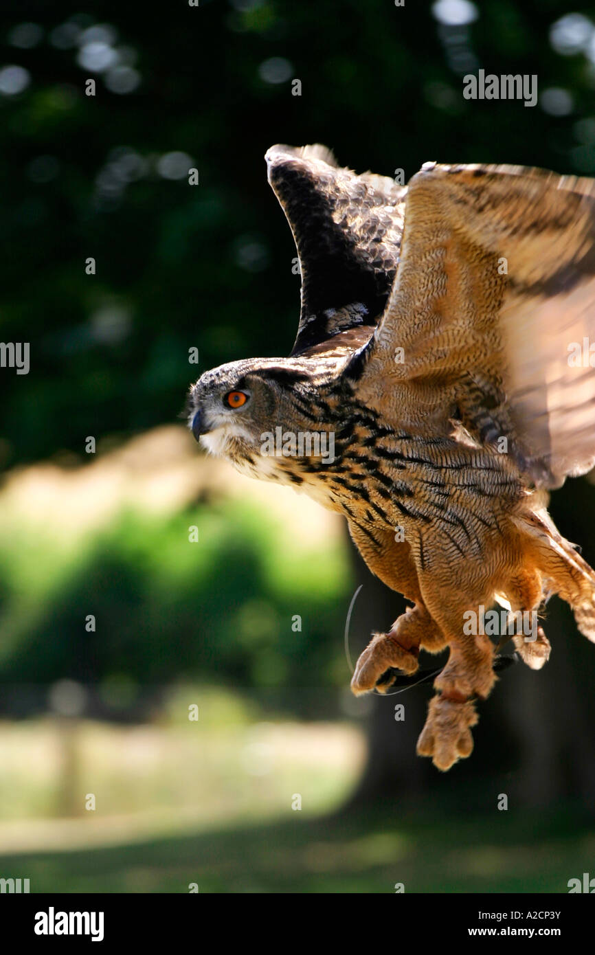 Eagle Owl Coming in to Land, Knights Tournament Falconry Display - Stock Image