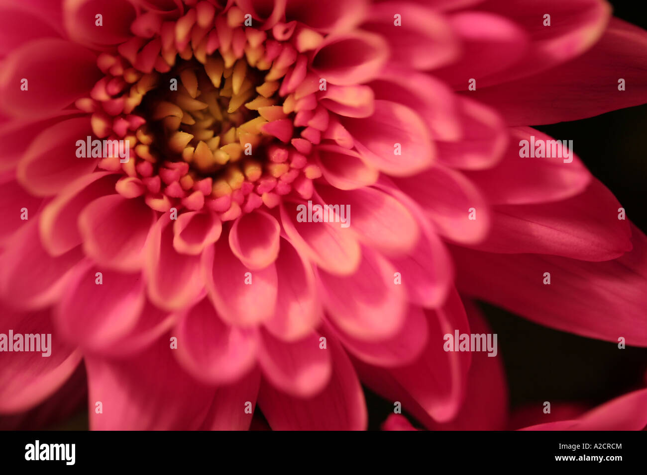 Single Gerbera Daisy photographed in natural light. A member of the sunflower family used to be thought of as a - Stock Image