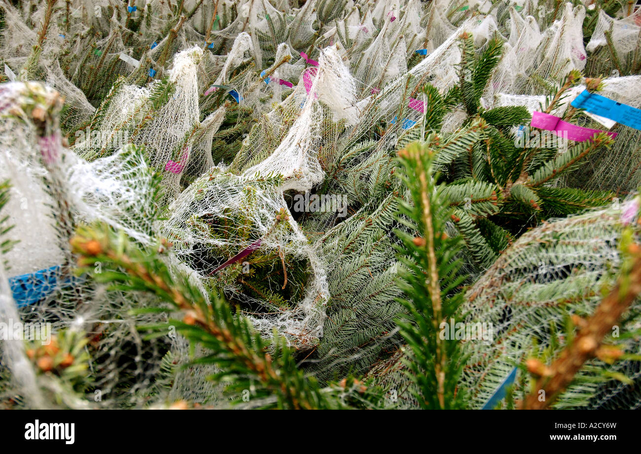 Chesham Christmas Tree Farm In Chesham A Farmstyle Village Outside Stock Photo Alamy