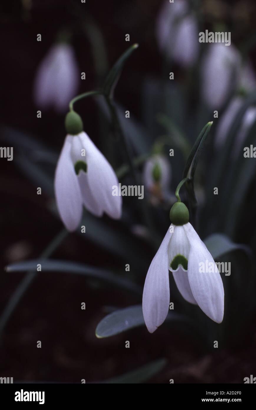 Galanthus Mighty Atom snowdrop - Stock Image