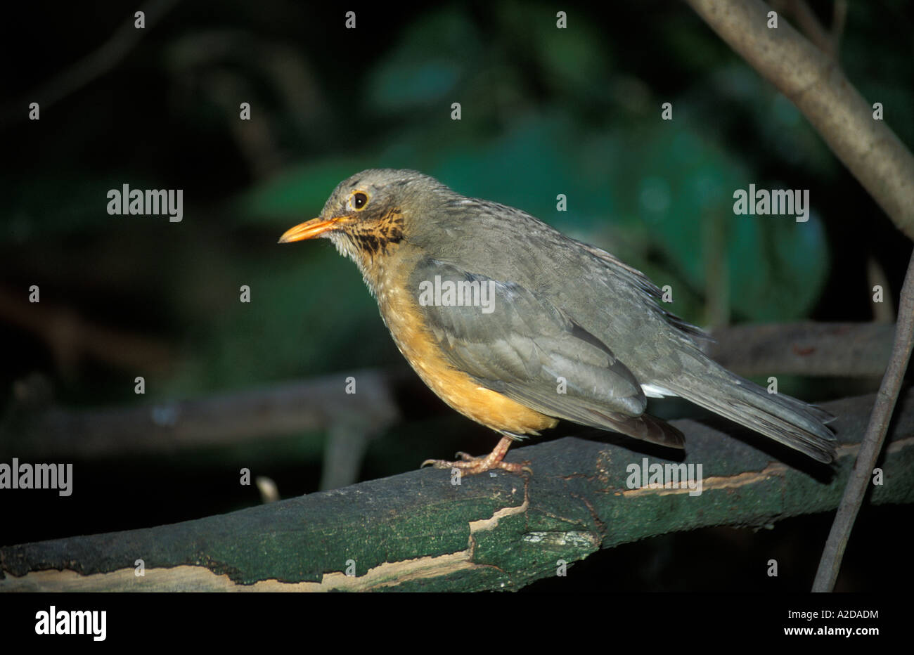 Olive thrush Turdus olivaceus Pilanesberg Game Reserve South Africa Stock Photo
