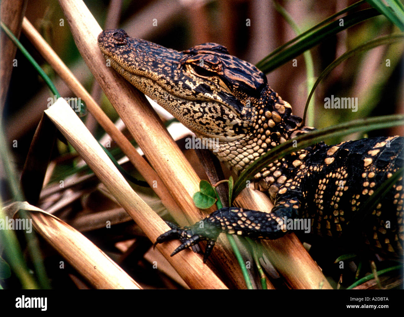 RA-3   RESTING YOUNG ALLIGATOR Stock Photo