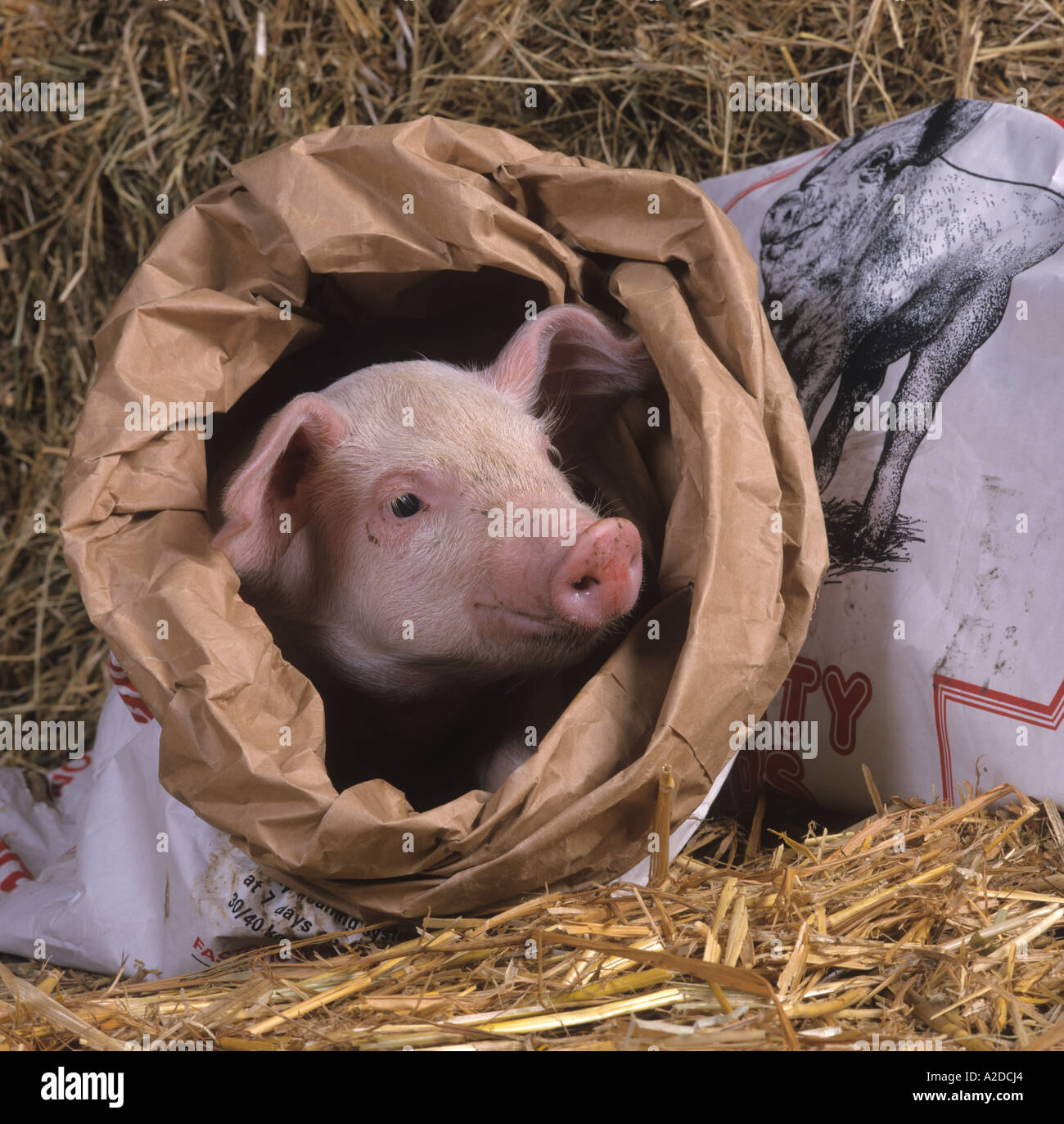 Piglet in Feed Bag Stock Photo: 5992995 - Alamy