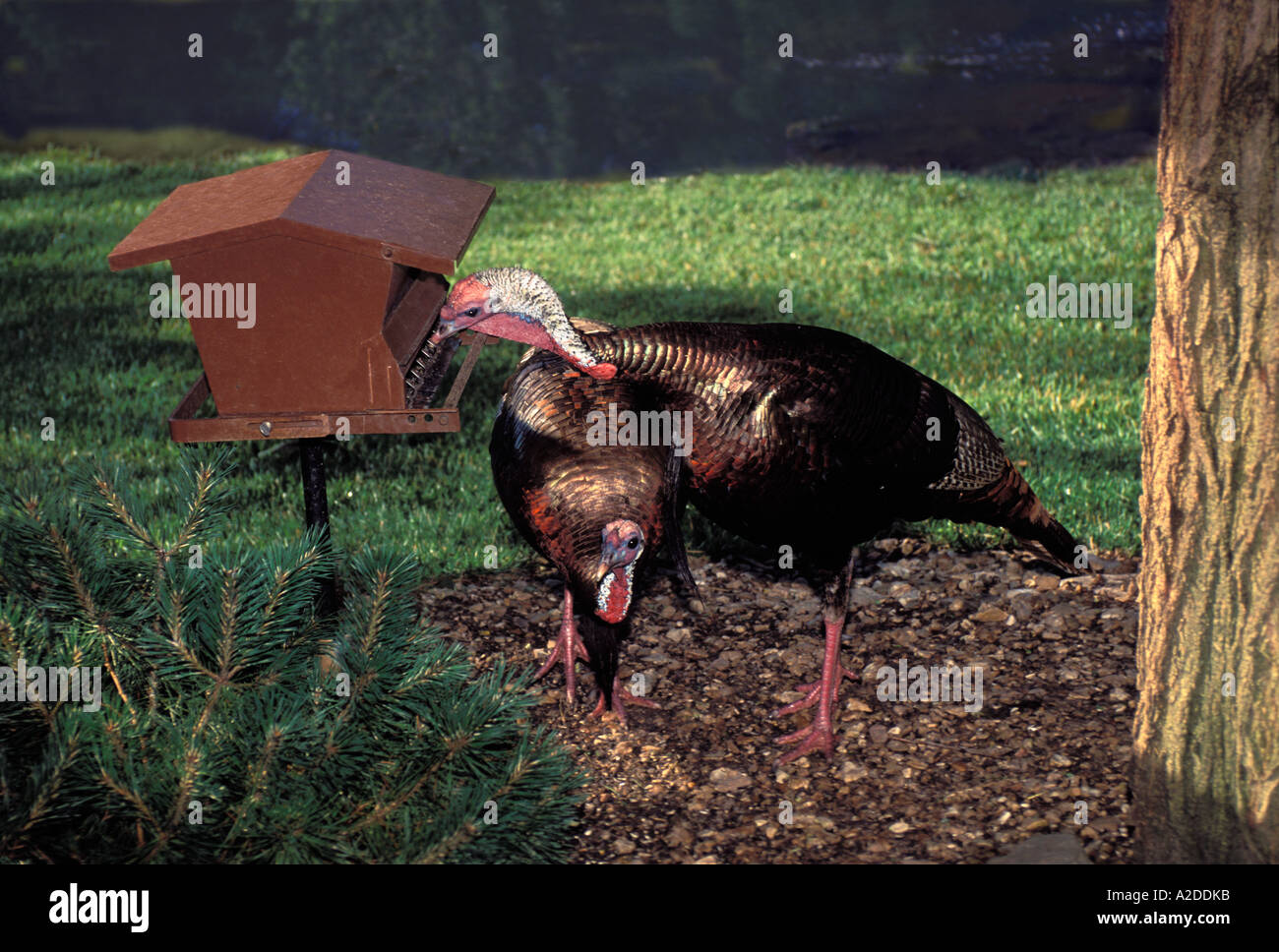1fcef9e02c Turkeys are birds too  Two large wild turkeys feeding at home bird feeder  in garden