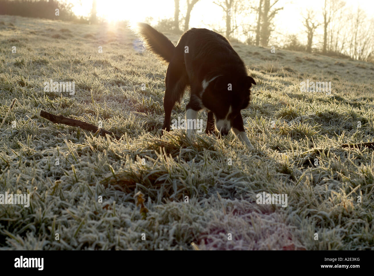 sheep dog in frosted field biting at stick - Stock Image