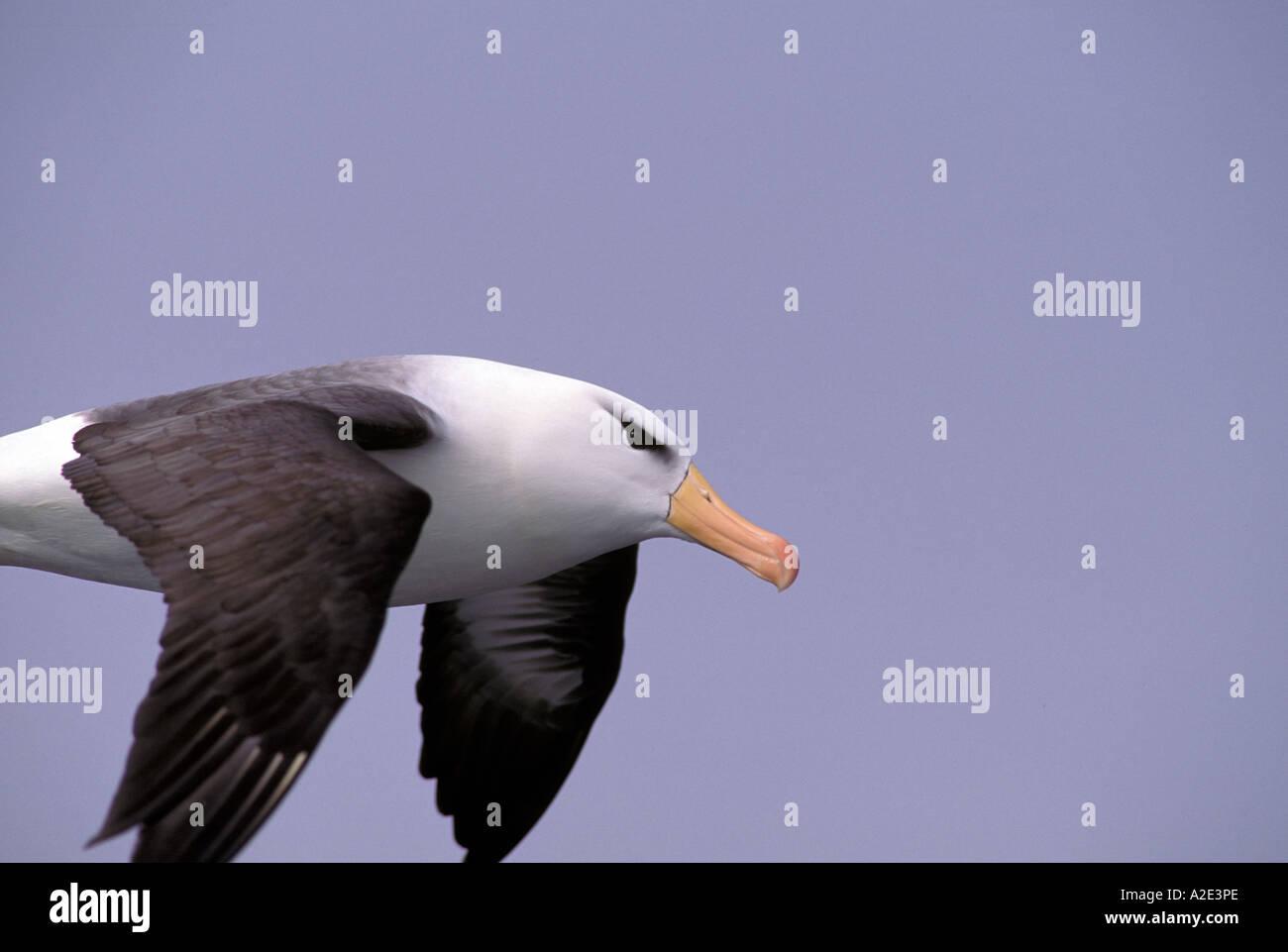 Antarctica, Sub-Antarctic Islands, South Georgia. Black-Browed Albatross close-up - Stock Image