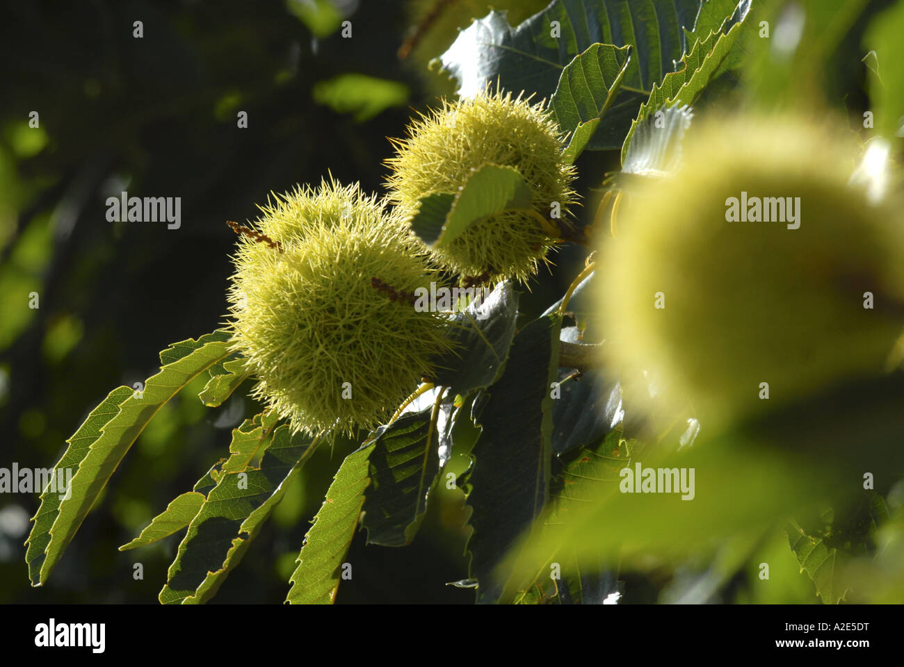 Chestnuts growing in Andalucia Spain Picture by Andrew Hasson September 2006 - Stock Image