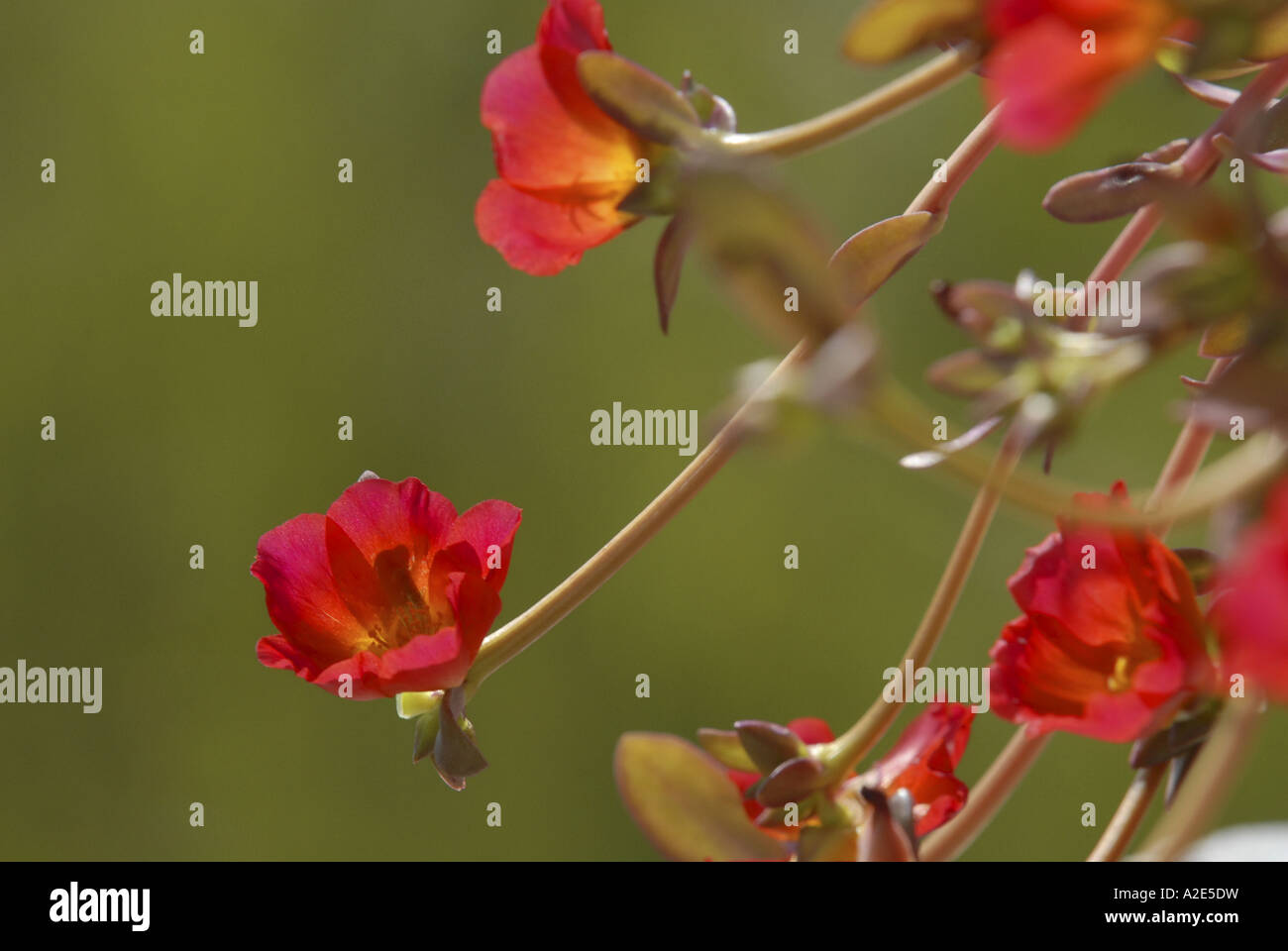 Beautiful pink flowers growing wild in southern Andalucia in Spain. - Stock Image