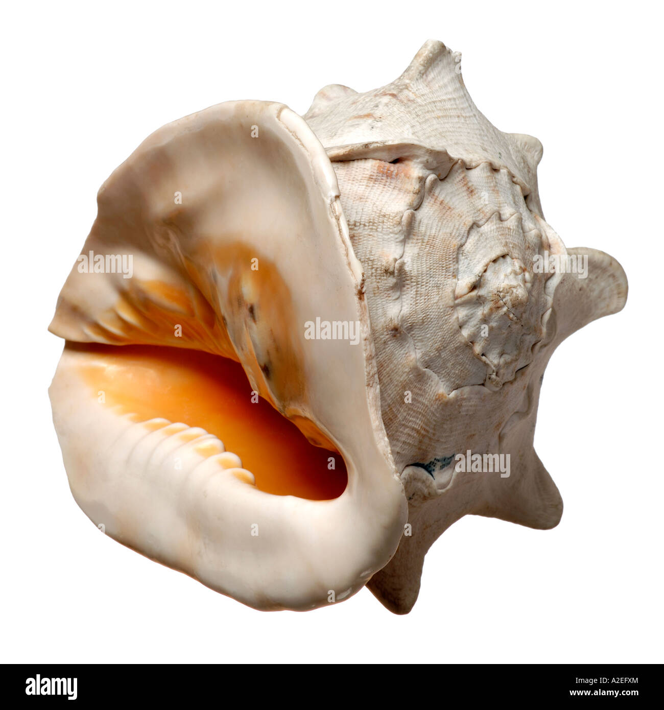 Conch shell - Stock Image