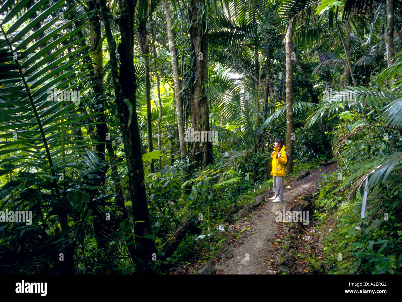Puerto Rico, Caribbean National Park. El Vendue Rainforest.  Hiker on Big Trees Trail. - Stock Image
