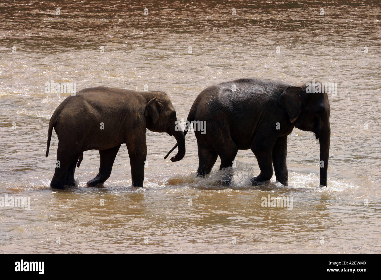 Sri Lanka elephants - male and female adult asian elephants in the Mahaweli Ganga river, Pinnawala, Sri Lanka, Asia Stock Photo