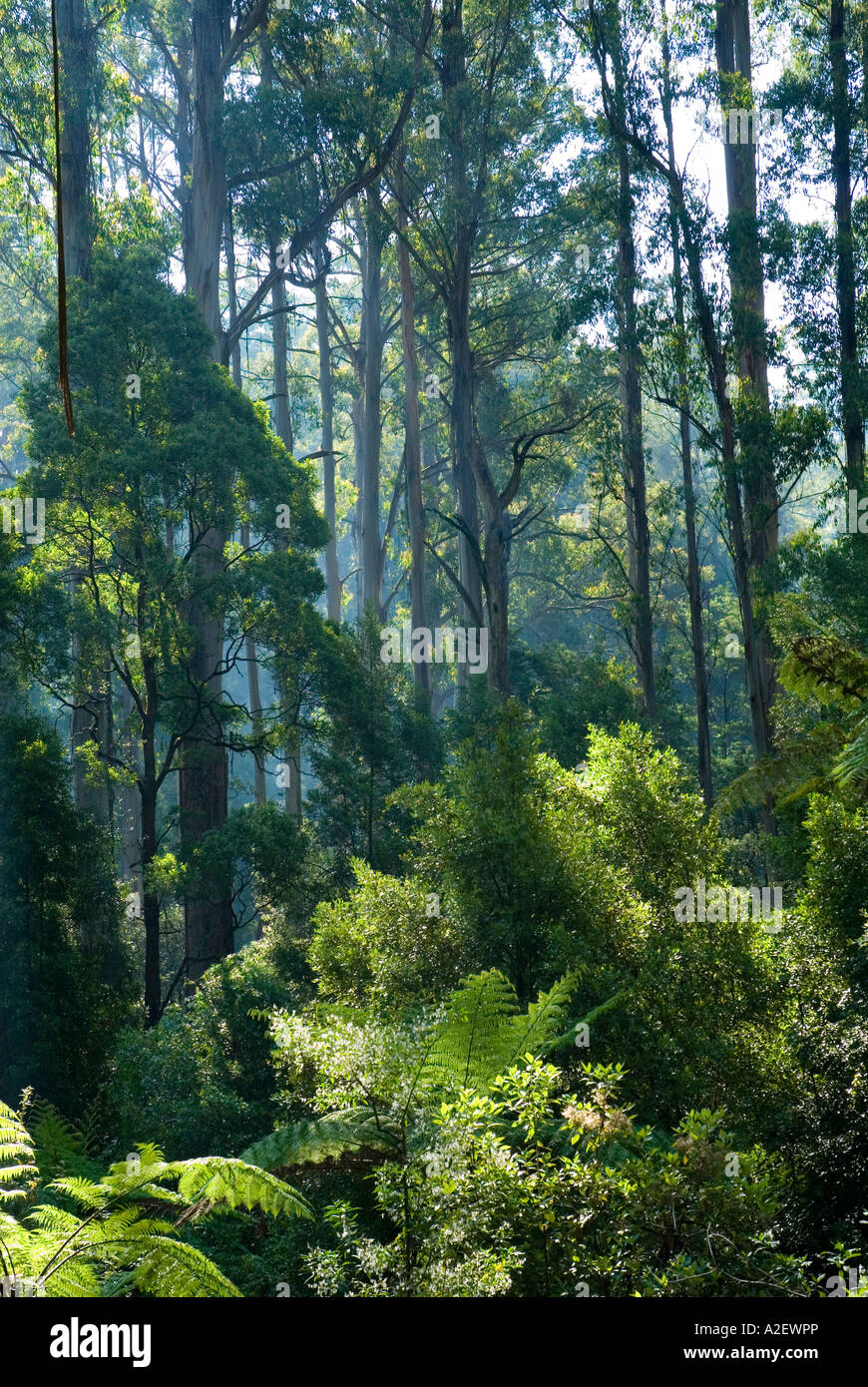 Mountain ash eucalyptus regnans and tree ferns Dandenong Ranges National Park Victoria Australia - Stock Image