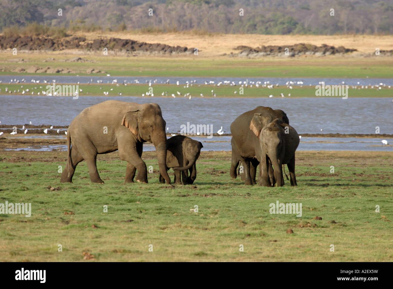 Sri Lanka elephants - A family of Asian elephants, Elephas maximus maximus, Minneriya National Park, Sri Lanka Asia - Stock Image