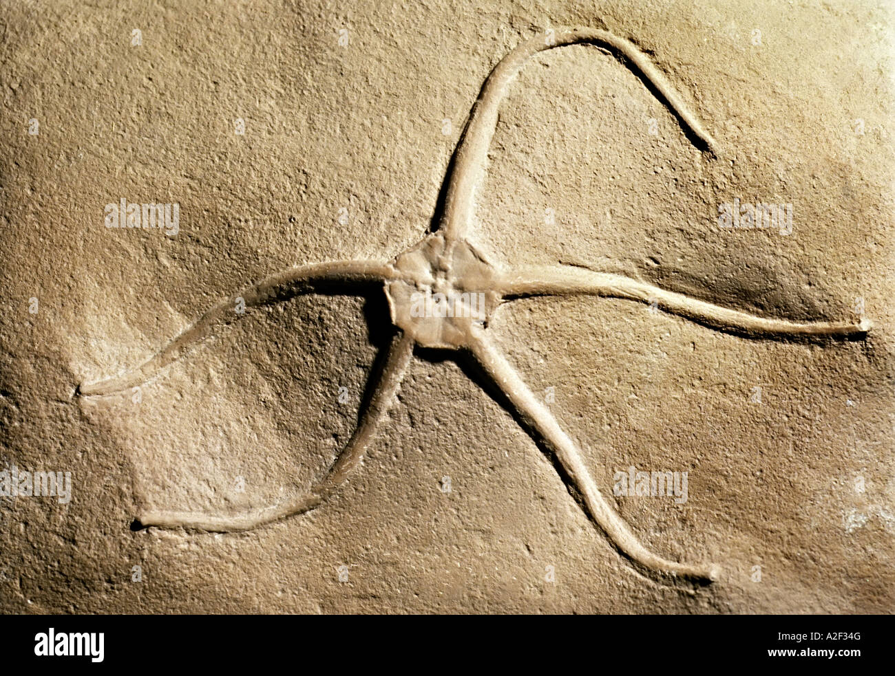 Brittlestar starfish fossil - Stock Image