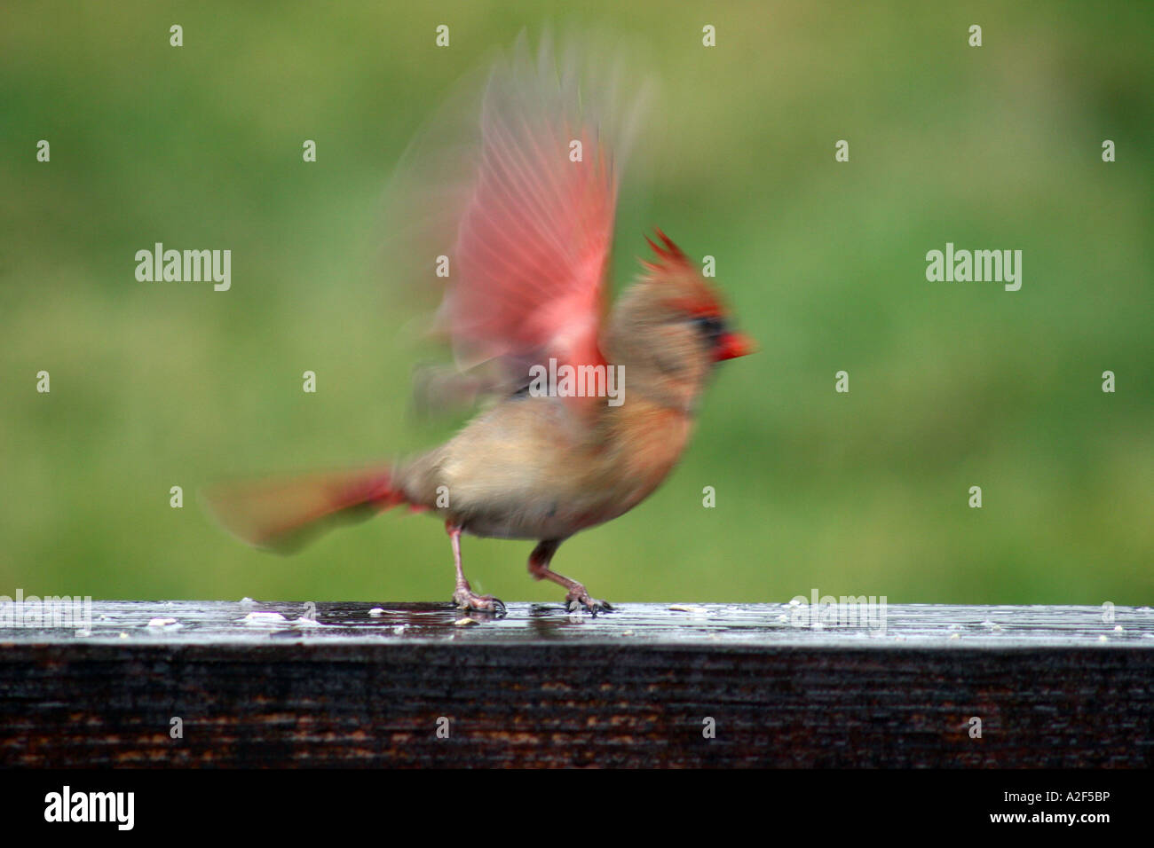 Northern Cardinal female taking off impressionism - Stock Image