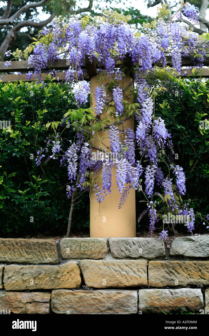 Wisteria Vine Hangs From A Pergola On Stone Wall Stock Photo