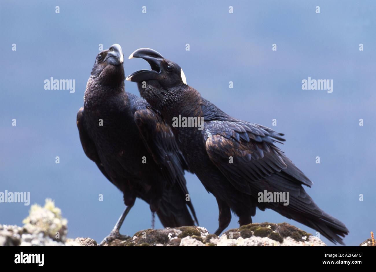 Pair of Thick-billed Raven (Corvus crassirostris) Simien Mountain National Park, Ethiopia - Stock Image