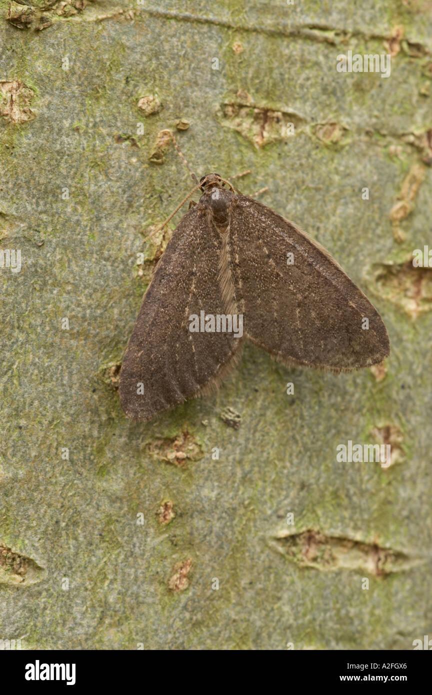 Winter Moth male - Operophtera brumata - Stock Image