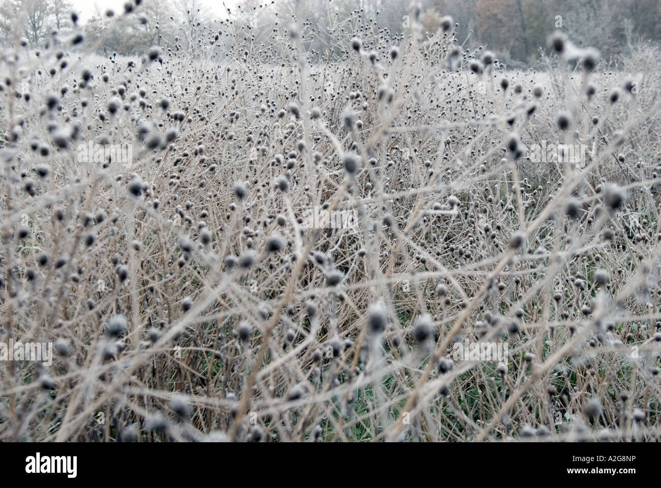 looking in to a field with twigs and undergrowth covered with frost icicles - Stock Image