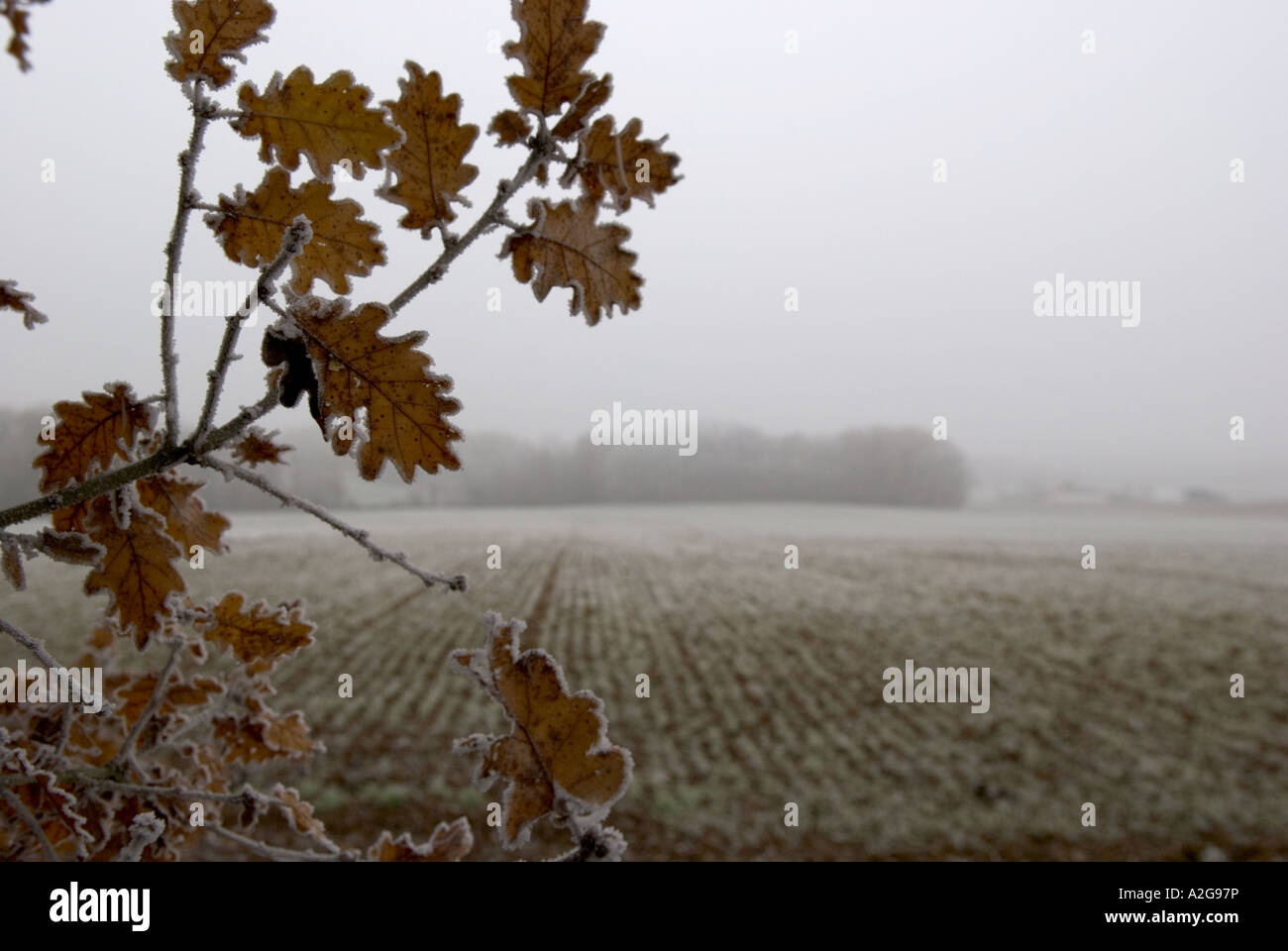 looking across a frost covered ploughed field with a branch with oak leaves in foreground - Stock Image