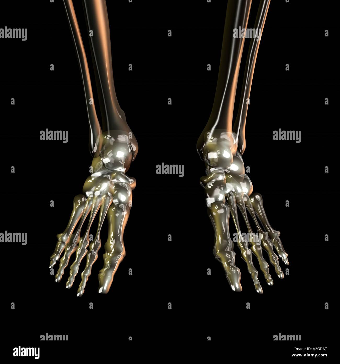 Feet Skeleton Stock Photos Feet Skeleton Stock Images Page 2 Alamy