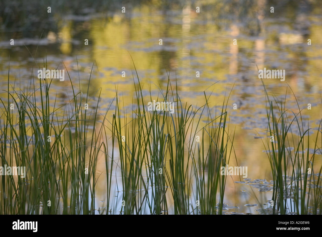 USA, California, Yosemite National Park: Siesta Lake (off Tioga Road) Morning Light, Grasses & Reflections Stock Photo