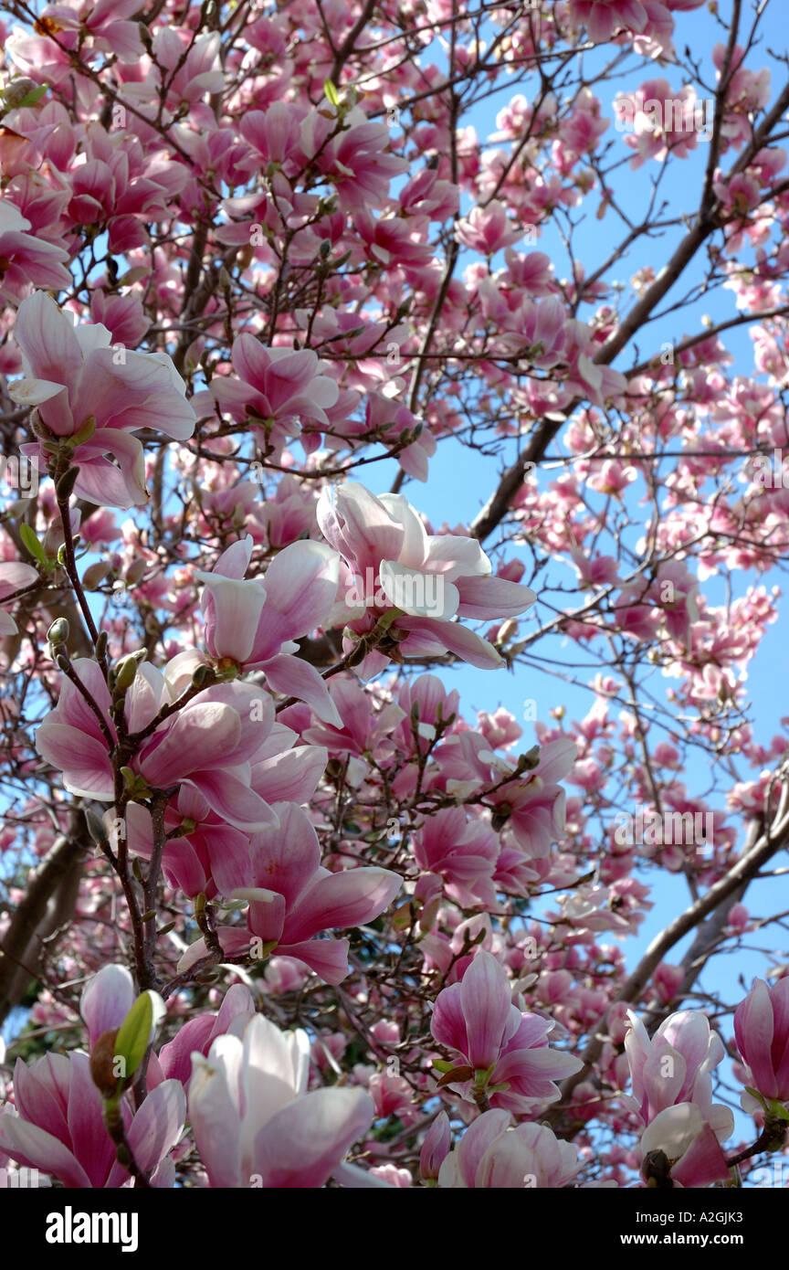 Massachusetts Reading Closeup Of Pink Magnolia Tree Blossoms Stock