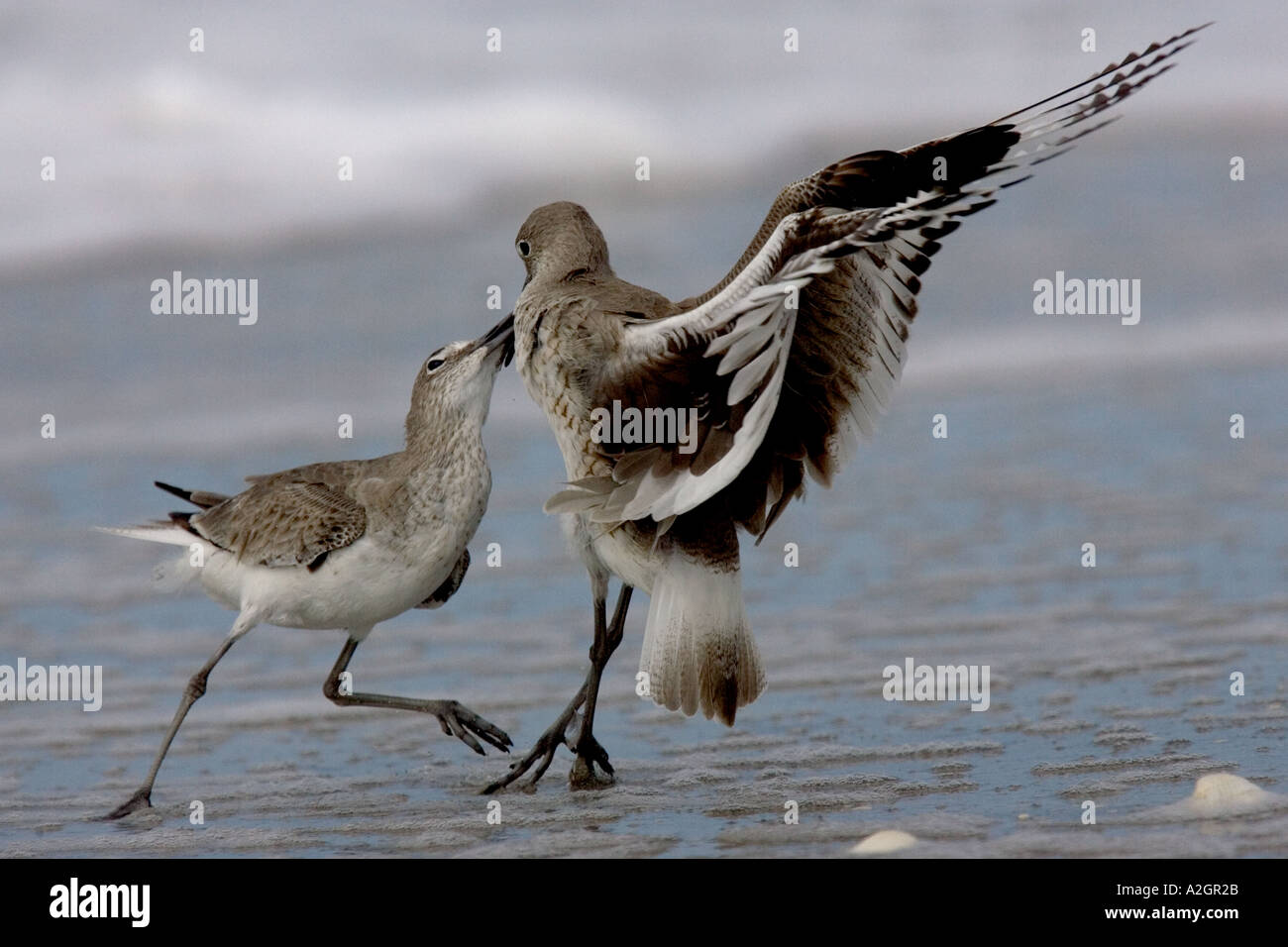 Willets fighting on a beach in Florida. Stock Photo