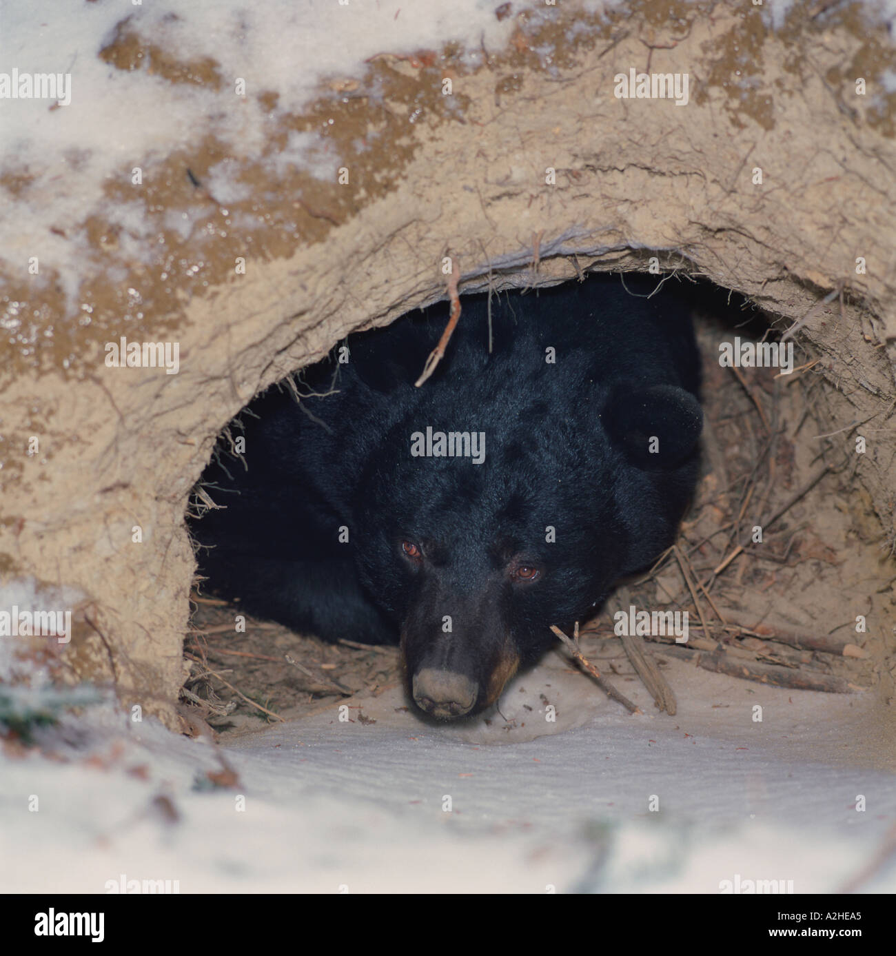 A Black Bear Ursus americanus looks out from its winter den dug into the earthside - Stock Image