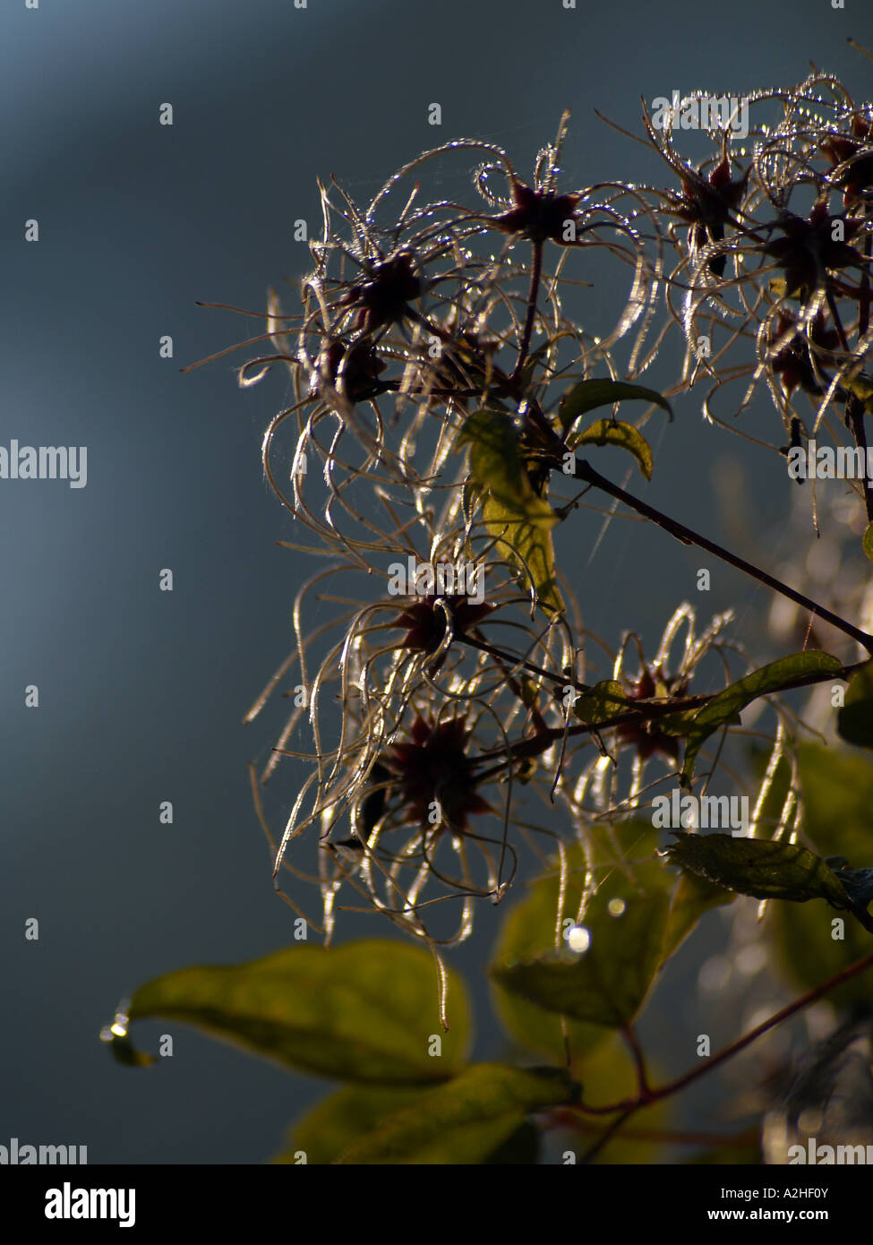 Fade Away Clematis - Stock Image