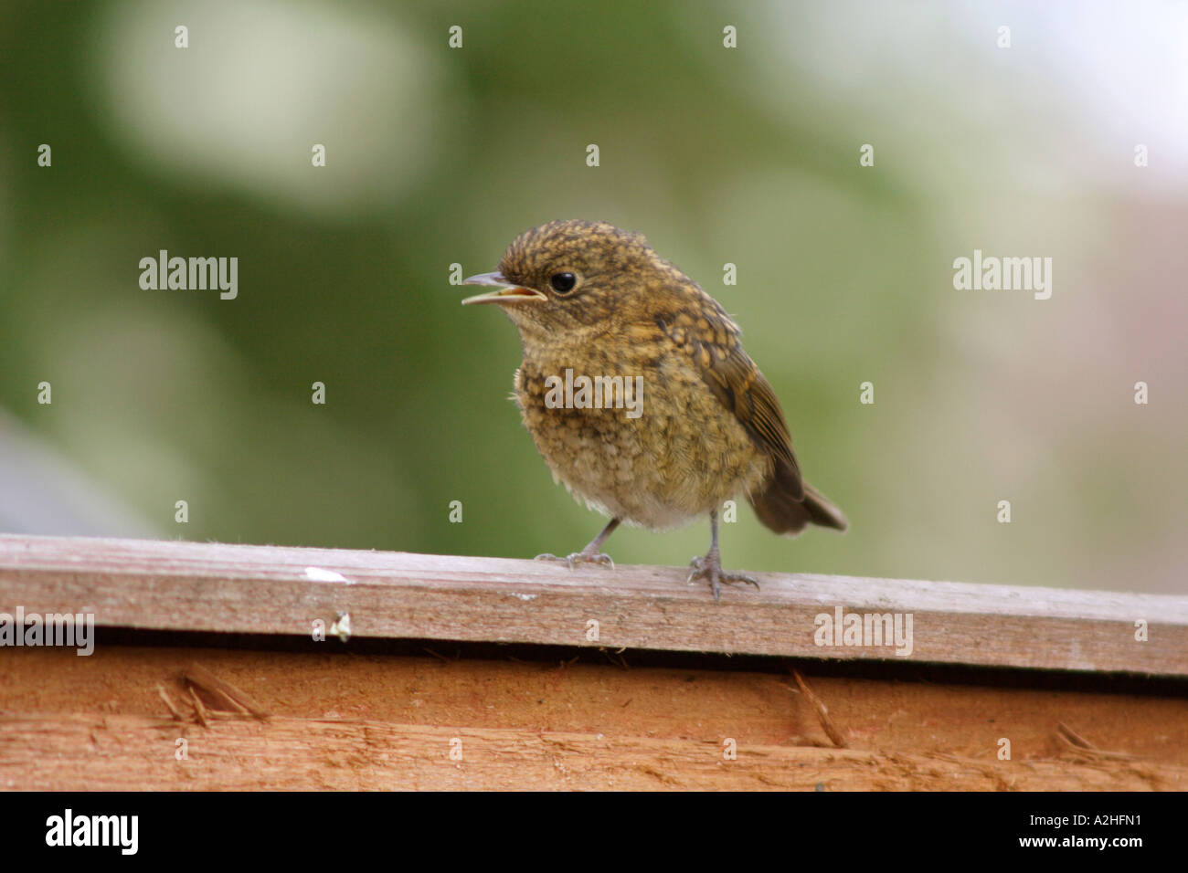 Robin, Erithacus rubecula, fledgling on garden fence, UK Stock Photo