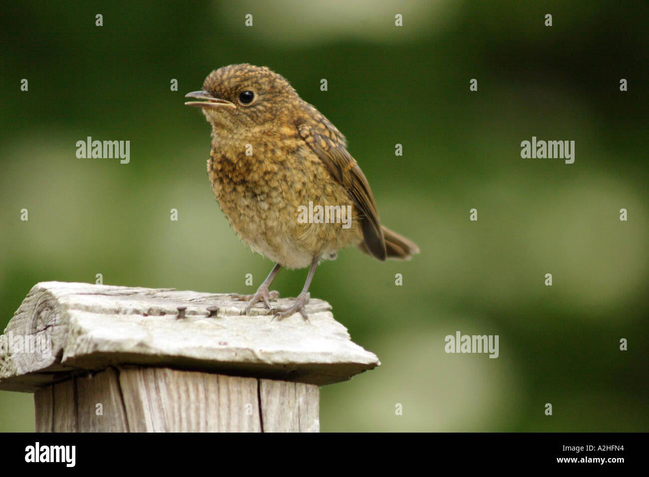 Robin, Erithacus rubecula, fledgling on garden fence, UK Stock Photo