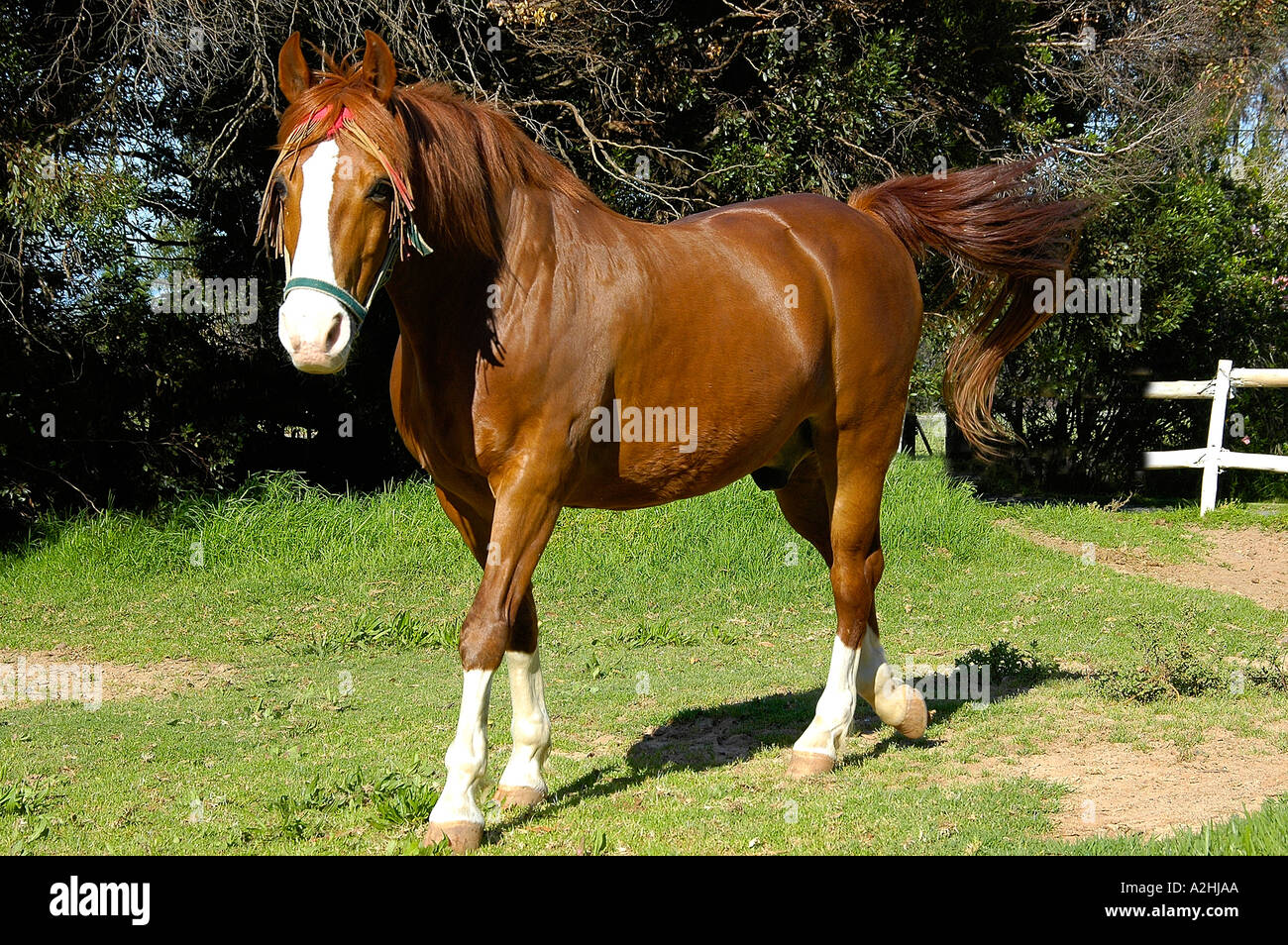 South African Bred Boerperd Stallion A Cross Between Arab And Basotho Stock Photo Alamy