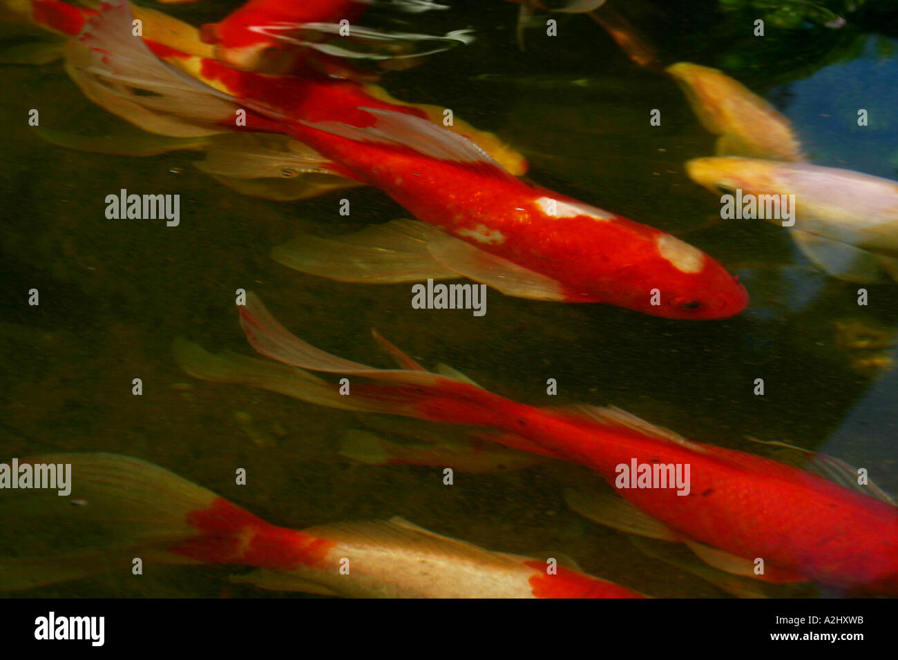 Koi carp gold white fish swimming flowing tails Stock Photo: 6017306 ...