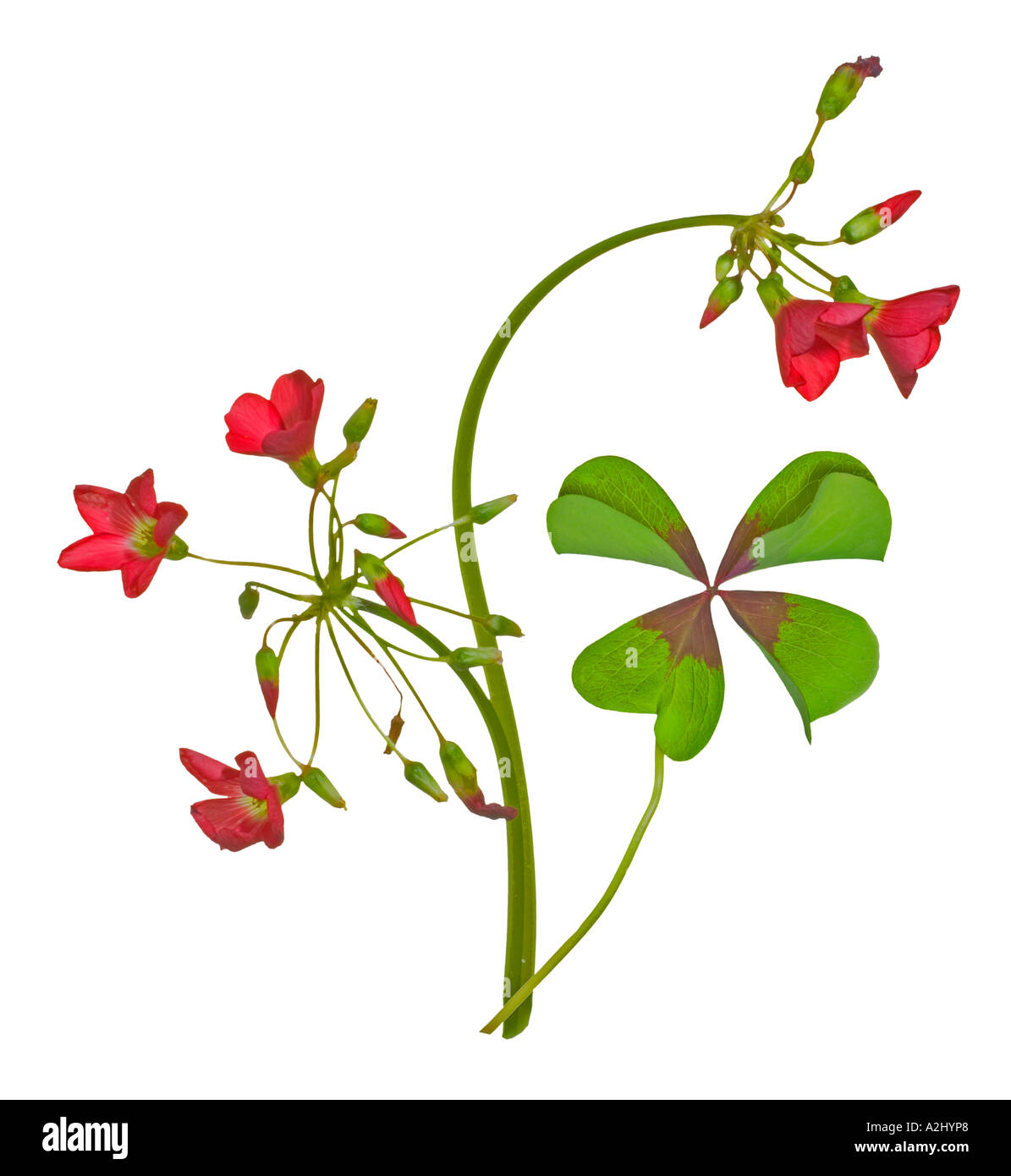 Clover Shaped Leaves Stock Photos Clover Shaped Leaves Stock