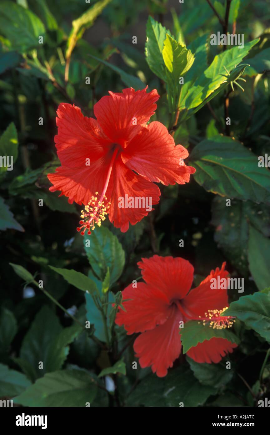 Red Hibiscus Flowers Vieques Island Puerto Rico Stock Photo 6019595