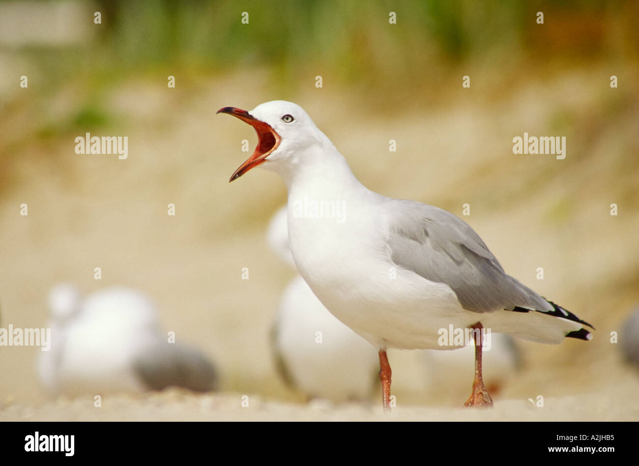 Close up of open mouthed seagull screaming out Larus novaehollandiae scopulinus - Stock Image