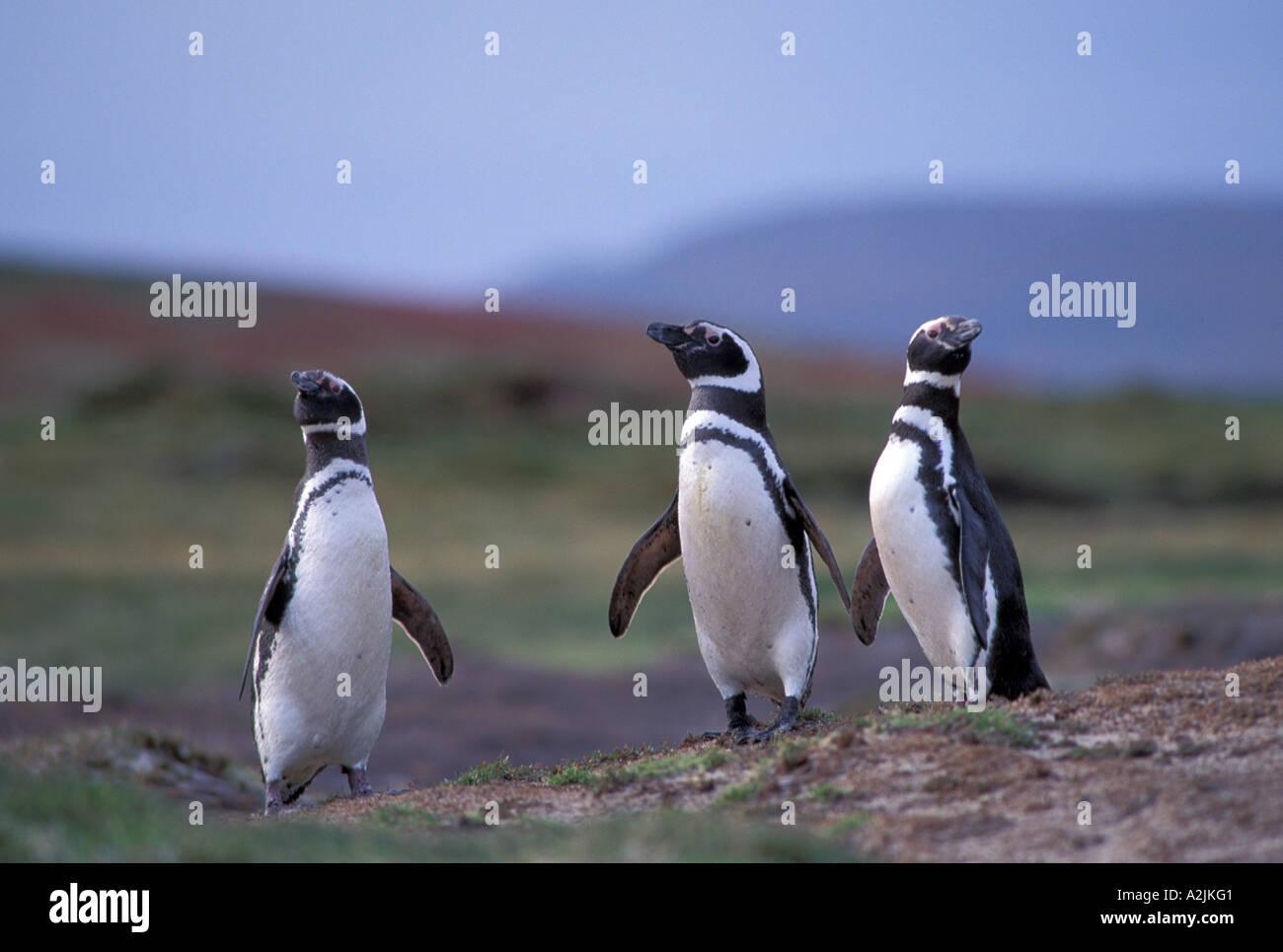 Antarctica, Sub-Antarctic Islands, South Georgia. Magellanic Penguins - Stock Image
