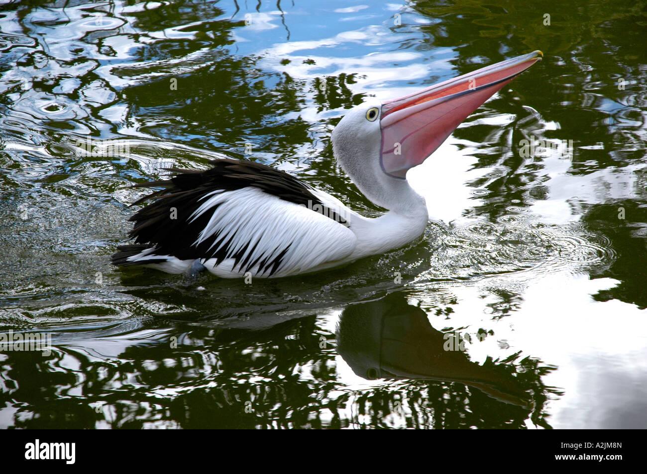 Australian Pelican (Pelecanus conspicillatus) - Stock Image