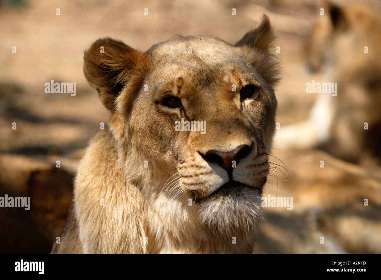 Lioness, Panthera leo krugeri. South Africa. - Stock Image