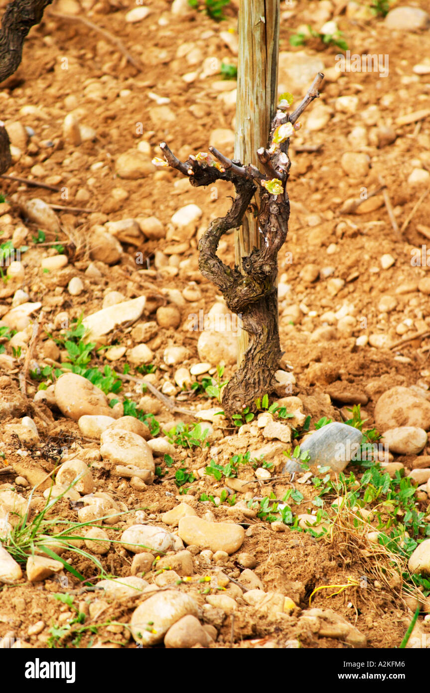 Les Greffeux vineyard in Hermitage with a vine that has been winter pruned and 'painted' with white disinfectant paint on the cuts to avoid infections and maladies. The typical soil mixture of sand and stones. Tain l'Hermitage, Drome, Drôme, France, Europe - Stock Image