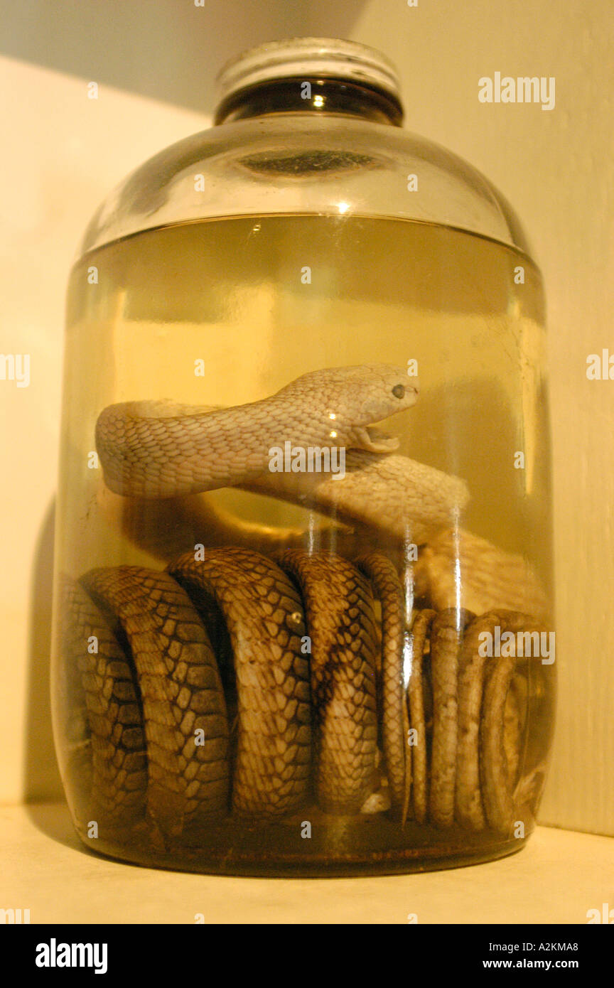 snake in a glass container preserved and conserved in formalin - Stock Image