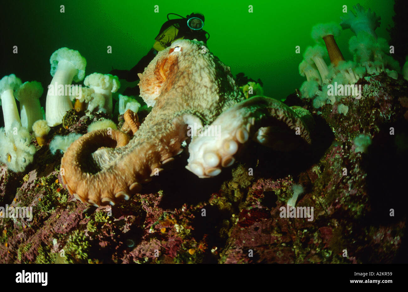Giant pacific octopus with scuba diver, Octopus dofleini,  British Columbia, Vancouver island, Canada Pacific - Stock Image
