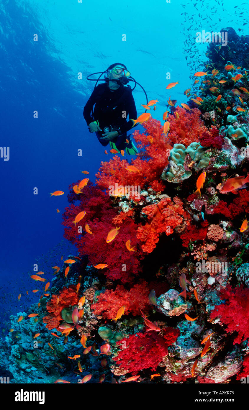 coral reef and scuba diver with red soft corals - Stock Image